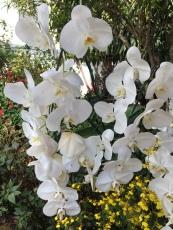 Orchids at Bhubing Palace