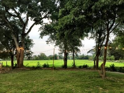 Rice fields on the farm