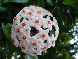 Joya bloom
